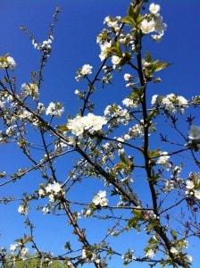 copac alb